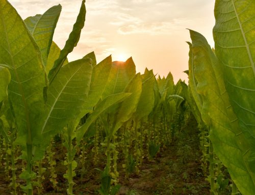 Tobacco Leaf Production: Which Countries Grow Tobacco Leaves and What Types of Leaves Do They Grow?