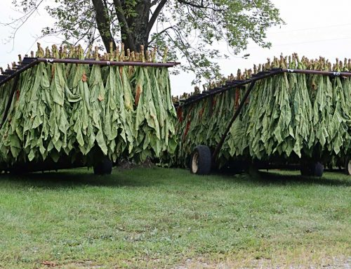 Virginia Tobacco: How It's Grown and The History